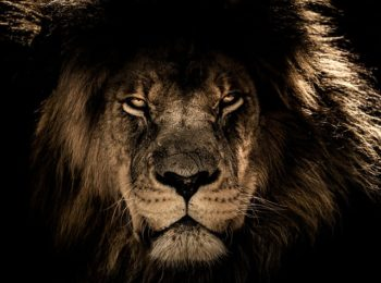 african-lion-2888519_640